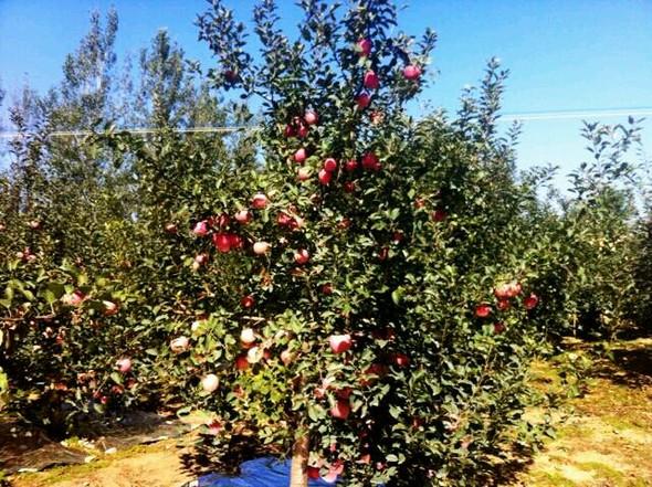 满树的红苹果