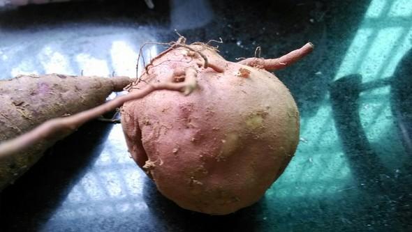 番薯生长矢量图