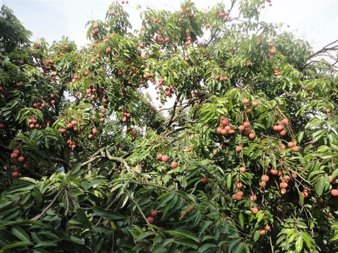 透透的肉肉,荔枝在树上的时候 ,荔枝树 linda方的美食日记 豆果美食